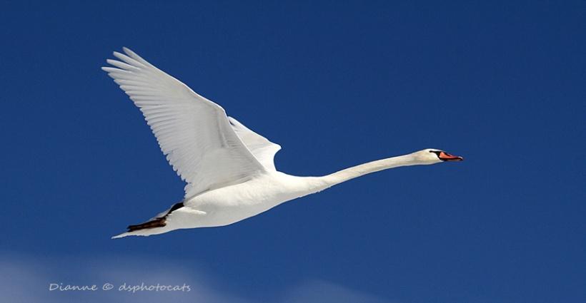 IMG_4268 Flying Swan